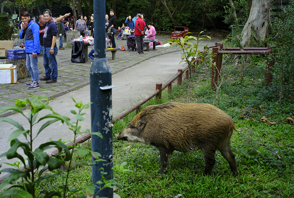 Wild Pigs Take Over!