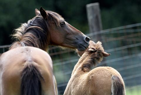 Choctaws like this mare and foal are descended from horses brought to the United States in the 1500s by Spanish explorers and later colonists. (AP)