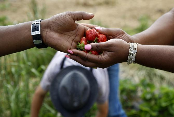 James Chase, left, hands strawberries to his wife while having his horses tended by Mennonites in Pennsylvania. (AP)