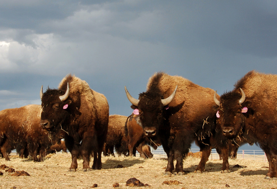 A herd of bison roam on the Fort Peck Reservation near Poplar, Montana.