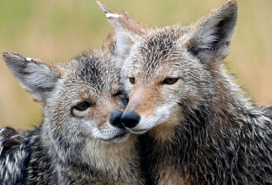 Young coyotes