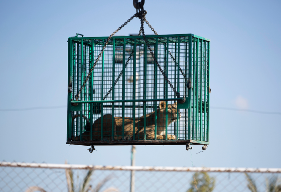 A worker loads a lion onto a truck at the Al-Bisan zoo.