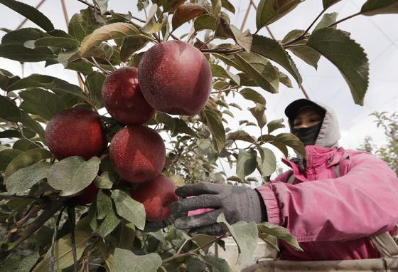 Sagrario Ochoa reaches to pick a Cosmic Crisp apple, a new variety and the first ever bred in Washington State, in an orchard in Wapato. (AP)