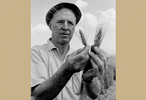 Norman Borlaug looks at wheat stocks at the Rockefeller Agricultural Institute in Atizapan, Mexico. (AP)