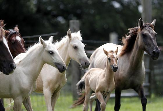 A Choctaw mare (right) and her 3-month-old foal (center) run with other Choctaw horses in Poplarville, Mississippi. (AP)