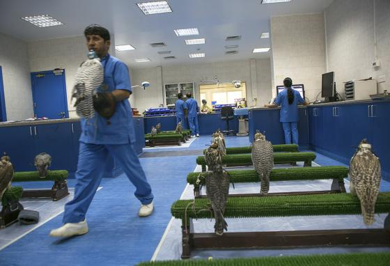 At the Abu Dhabi Falcon Hospital in Abu Dhabi, United Arab Emirates, a veterinarian carries a bird to be examined. (AP)
