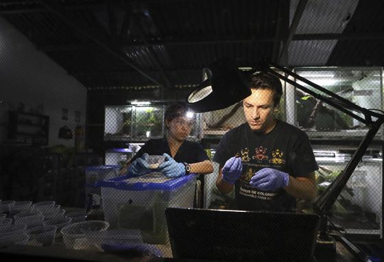 """Zoo-technologists Alejandra Curubo (left) and Ivan Ramos pack frogs to ship to the United States at the """"Tesoros de Colombia"""" frog breeding center in Cundinamarca, Colombia. (AP)"""