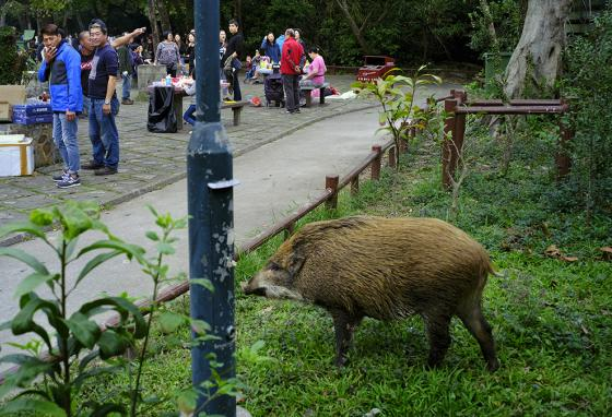 People in a Hong Kong park watch while a wild boar scavenges for food. (AP)