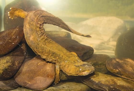 A hellbender moves along the bottom of a large aquarium. (Alamy)