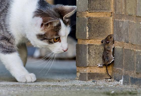 A cat's wild instincts make it chase mice! (AP)