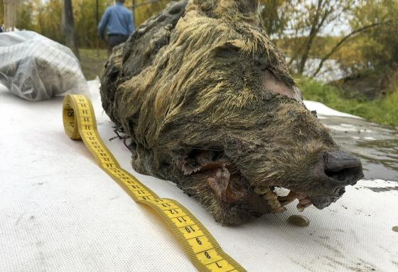This Ice Age wolf was found during a scientific expedition in Russia. (AP)