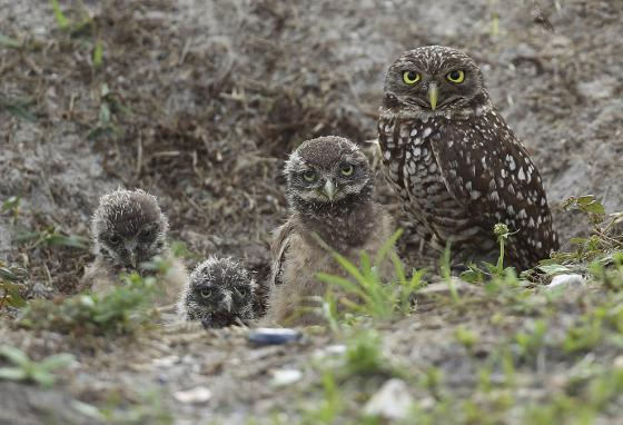An adult burrowing owl and three young chicks (AP)