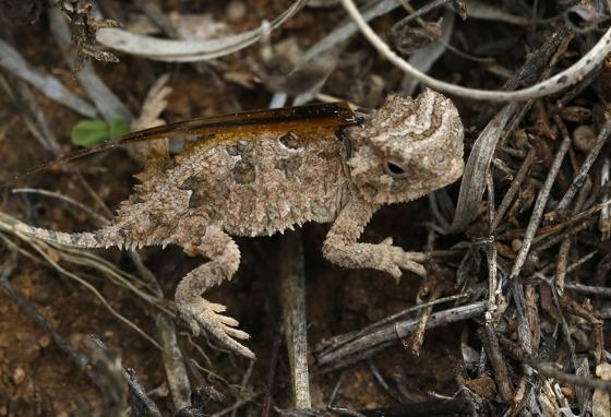A baby horned lizard is tagged with a harmonic tracking device before being released at Mason Mountain, Texas. (AP)