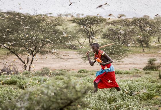 A Samburu boy uses a wooden stick to try to swat away a swarm of desert locusts filling the air as he herds his camel near the village of Sissia, Kenya. (AP)