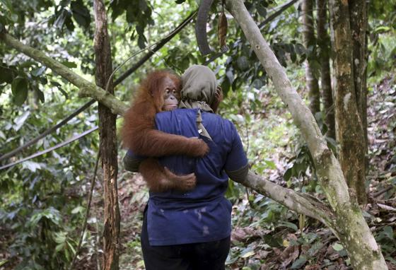An animal rescue worker holds an orangutan baby. (AP)