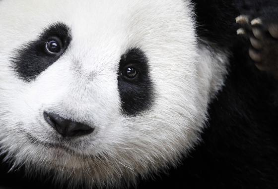 One of China's giant pandas at the National Zoo in Kuala Lumpur, Malaysia (AP)