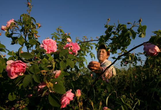 In Bulgaria, a woman gathers roses to be processed into oil for perfume. (AP)