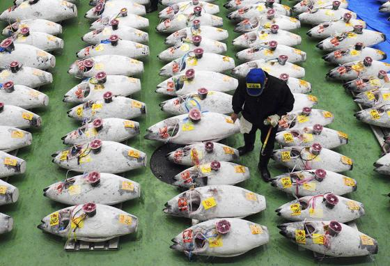 A buyer looks over frozen tuna during the first auction at the newly opened Toyosu Market in Tokyo, Japan. (AP)