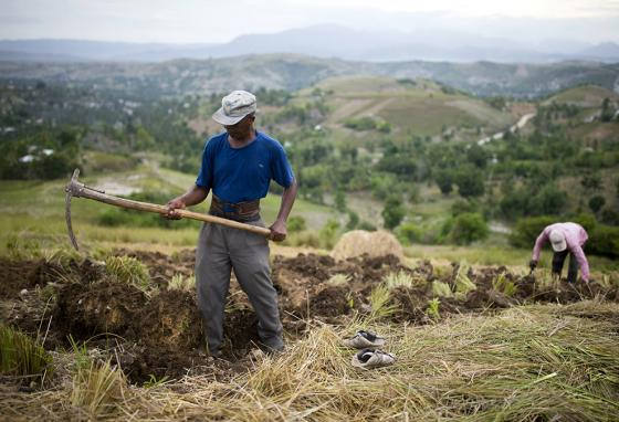 Thomas Absolue harvests vetiver roots on a farm in Les Cayes, Haiti. (AP)