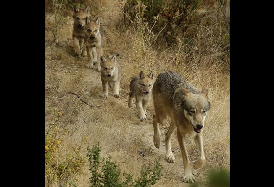 Sequoia, a male gray wolf, leads his four pups to explore their habitat at the Oakland Zoo in California. (AP)