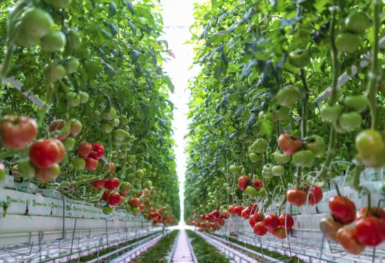 Tomatoes grow in AppHarvest's facility in Morehead, Kentucky. (AppHarvest/AP)