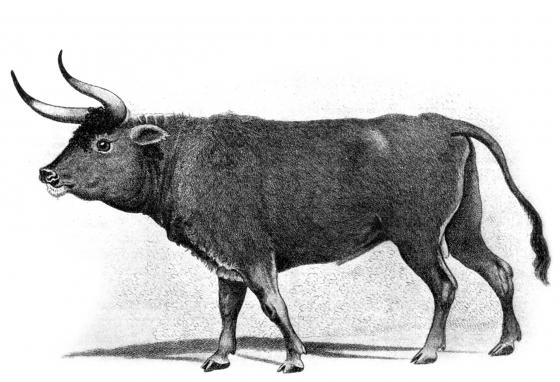 This 1600s painting in Germany is thought to show an auroch or a cross between an auroch and another type of cow.