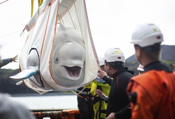 The Icelandic team moves Little Grey, a beluga whale, from a tugboat to a pool. It's one step toward helping the whale get used to living in open water. (AP)