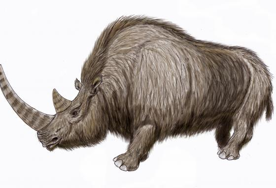 Woolly rhinos were covered with thick, shaggy fur. (ДиБгд/CC BY-SA 4.0)