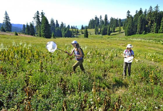13-year-olds Hailey Dressler, left, and Maggie Everett, catch bumblebees as citizen scientists during an annual survey. (Jamie Lusch/The Medford Mail Tribune/AP)