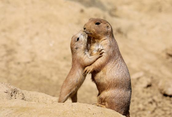 Prairie dogs live in family groups. They dig tunnels for their homes.