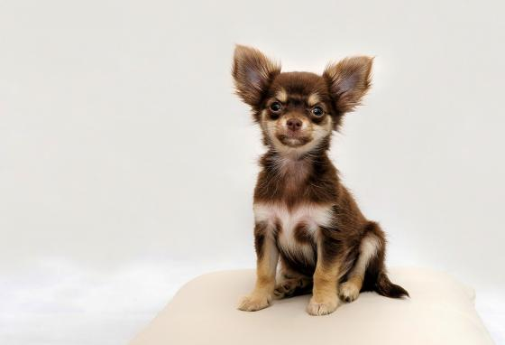 Humans bred little Chihuahuas for company.