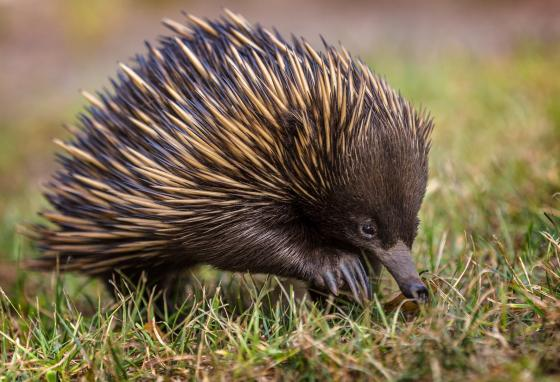 Echidnas live in Australia and New Guinea. They help keep the soil healthy.