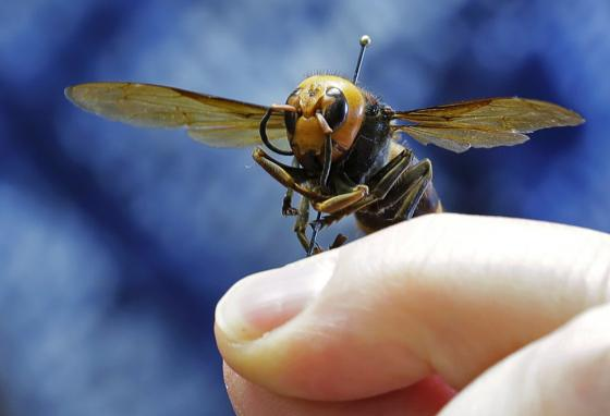 An Asian giant hornet from Japan is held on a pin by a scientist who studies bugs. (AP)