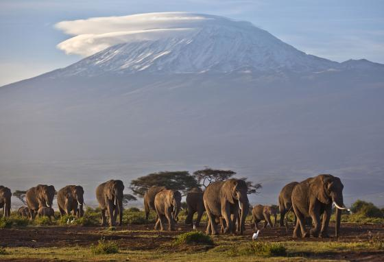 Adult and baby elephants walk in Amboseli National Park in southern Kenya. The highest mountain in Africa, Tanzania's Mount Kilimanjaro, is in the background. (AP/Ben Curtis)