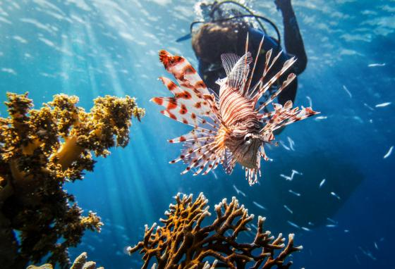 The lionfish may look beautiful in a reef, but it can also be harmful to people and other animals.