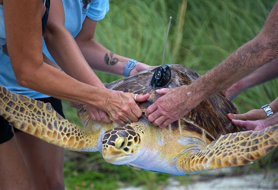 Staff from The Turtle Hospital and the Sea Turtle Conservancy carry Maisy to a Florida Keys beach. (AP)