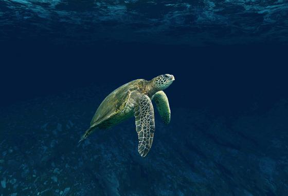 Sea turtles often swim back to lay their eggs on the same beaches where they hatched.