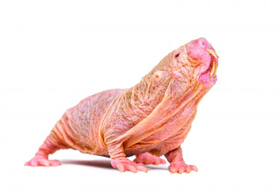 Turns out—naked mole-rats talk a lot.