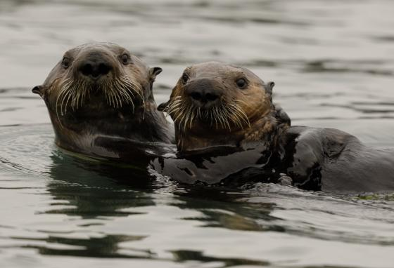 Two southern sea otters swim at the Elkhorn Slough in California.