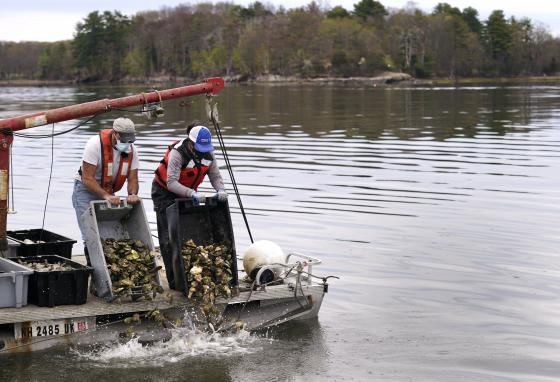 People dump trays of adult oysters at Great Bay in Durham, New Hampshire. Thousands of oysters were brought from Maine to increase the population there. (AP/Charles Krupa)