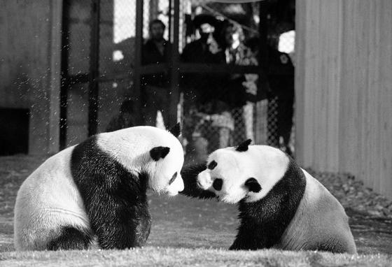 The National Zoo's first giant pandas, Ling-Ling and Hsing-Hsing, play in their yard.  They were gifts to President Richard Nixon. (AP)