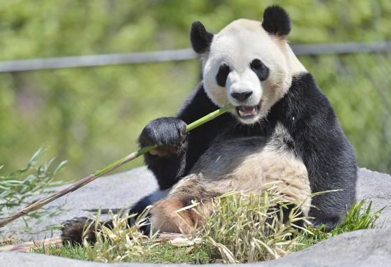 Da Mao eats bamboo. Canada is sending its two pandas back to China so they can get enough fresh bamboo. (AP)