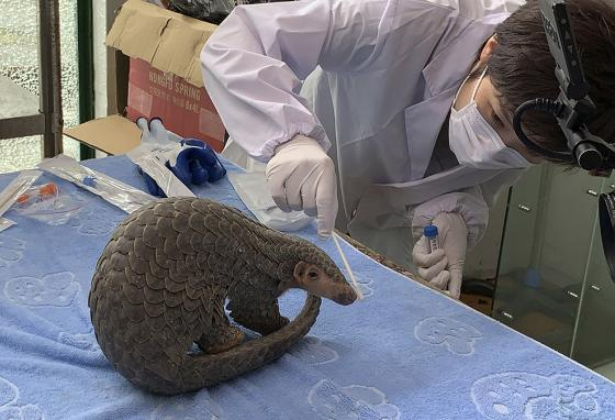 A staffer from China Biodiversity Conservation and Green Development Foundation, or CBCGDF, swabs a pangolin for testing. (AP)