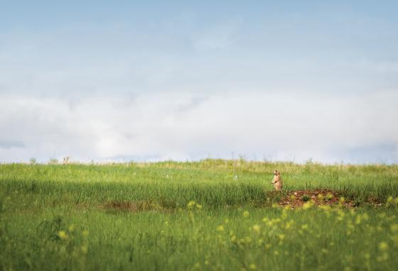 Prairies support many creatures, including five different species of prairie dogs.