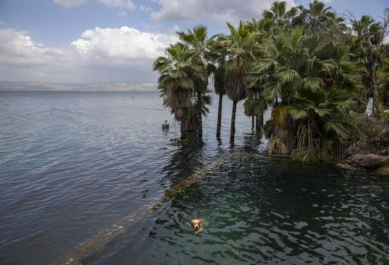 A dog takes a dip in now full Sea of Galilee. These trees were only recently on dry land! (AP Photo)