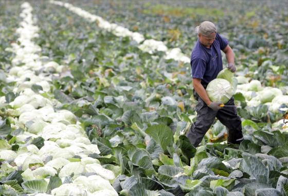 A farm worker harvests white cabbage at a field in Germany. Fresh fruits and vegetables contain vitamins and minerals that our bodies need. (AP/Frank Augstein)
