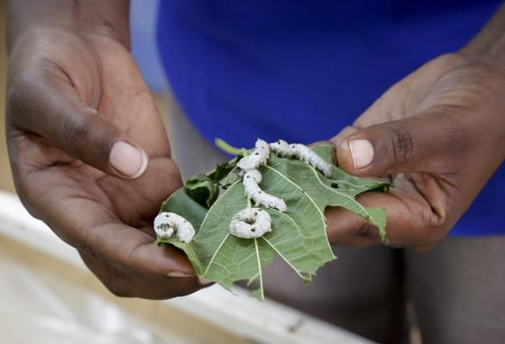 An assistant holds mulberry leaves as silkworms feed on them at the National Sericulture Research Center in Thika, Kenya. (AP)