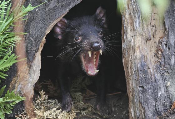 Big John the Tasmanian devil growls from his tree house at the Wild Life Sydney Zoo. Tasmanian devils recently returned to mainland Australia for the first time in some 3,000 years. (AP)