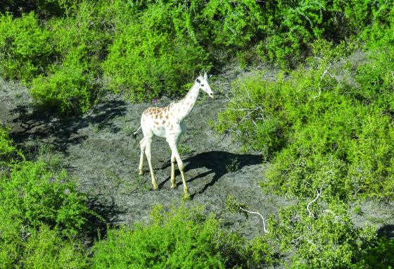 The male white giraffe is darted with a tranquilizer to put a GPS tracking device on him. (AP)