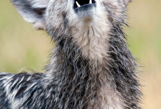 A coyote howls in Millville, Utah.